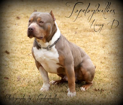 XXL Biggest Best Extreme Pitbulls American bully Breeder Kennel Tri