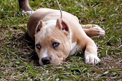 xxl large pitbulls for sale blue pitbulls for sale tri pitbulls for sale