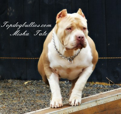 XXL Biggest Best Extreme Pitbulls American bully Breeder