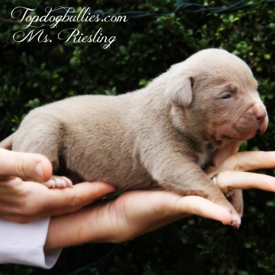 Blue Pitbull Puppies Forsale Pitbull Breeder Pitbull Puppies