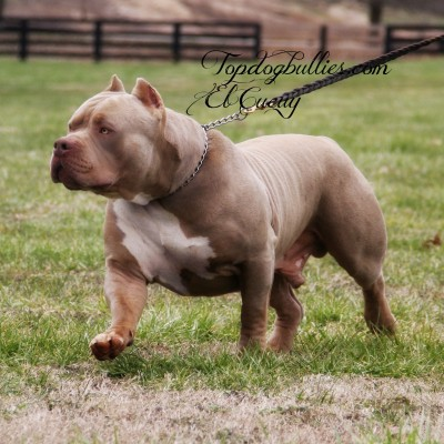 Extra Large Dog Breed Puppies For Sale